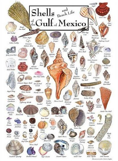 Shell guide to the Gulf of Mexico beaches!