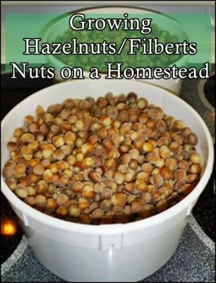 The Homestead Survival | Growing Hazelnuts or Filberts Nuts on a Homestead | http://thehomesteadsurvival.com