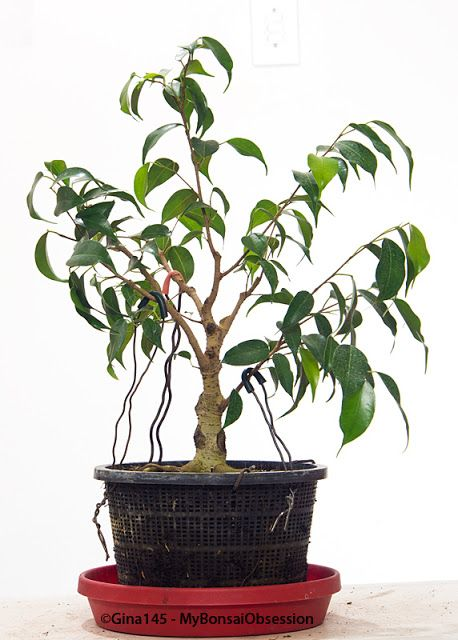 My Bonsai Obsession: My Struggles with Ficus Benjamina