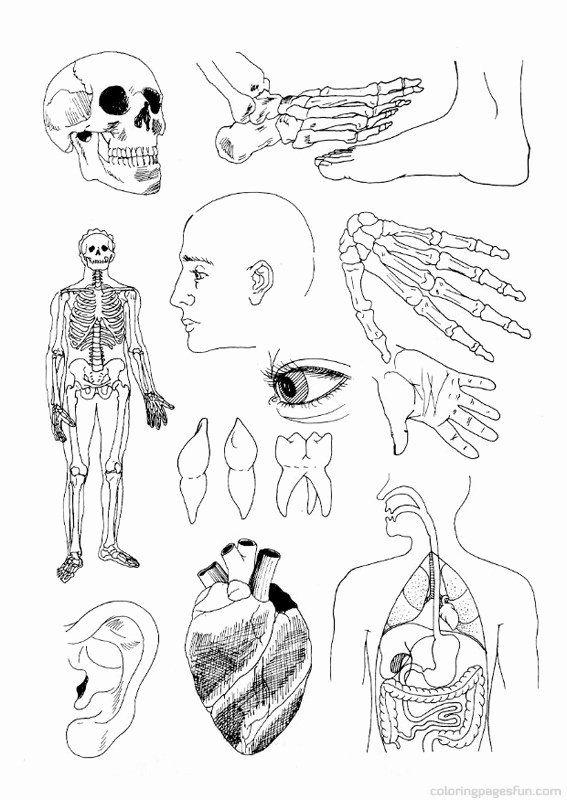 Human Anatomy Coloring Book Elegant Facts Anatomy Coloring Book Human Brain Free Printable Anatomy Coloring Book Cool Coloring Pages Coloring Books
