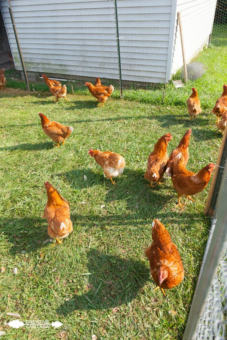 1704 best chickens coops care breeds images on pinterest