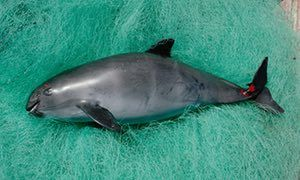 Endangered vaquita porpoise(Californische bruinvis) - $4m mission in Gulf of California aims to rescue world's most endangered sea mammal – with help from US navy dolphins