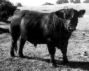Breeds of Livestock - Australian Lowline Cattle