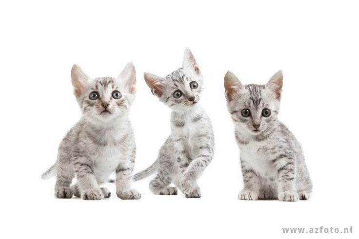 Egyptian Mau Kittens | Cattery van de Schooiertjes | The Netherlands | www.kittentekoop.nl
