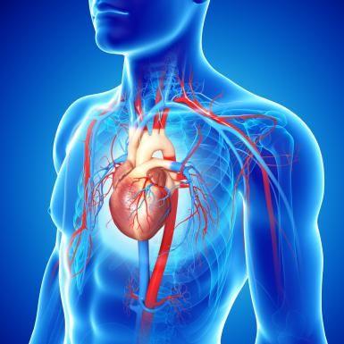 Funciones del corazon para niños