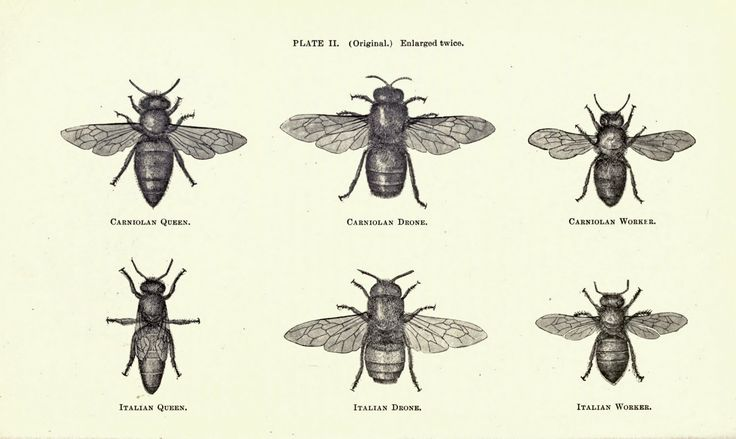 Vintage bee illustration | T A T T O O | Pinterest | Honey ...