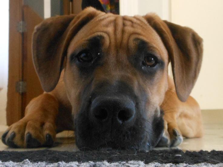 Duke after playing outside.: Animales Lovin, Animal Angel, Pets