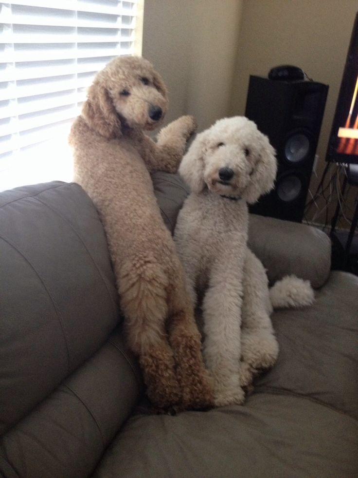 De 25+ bedste idéer inden for Poodle cuts på Pinterest ...