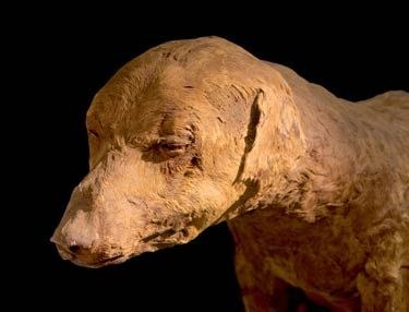 Egyptian dog mummy. Somebody loved their dog so much, they wanted him in the after life. <3