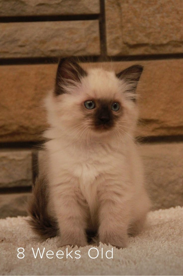 38 best Ragdolls images on Pinterest
