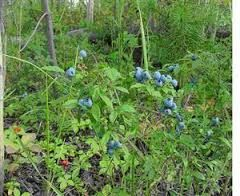 Image result for shrubs in forest