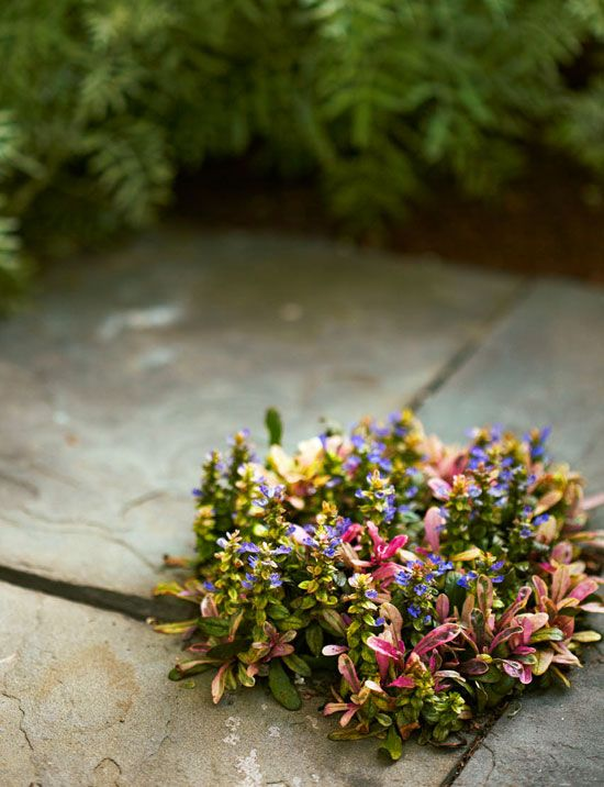 """Bronze Beauty"" ajuga pokes out amid bluestones in this Charleston garden"