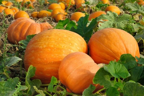 Pumpkin planting tips from GoGardenGo: Learn the best ways to grow pumpkins in the home vegetable garden | Best pumpkins to plant | How to grow a giant pumpkin for Halloween