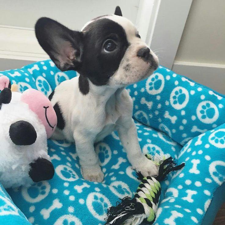 Good Morning America French Bulldog : Best french bulldog images on pinterest