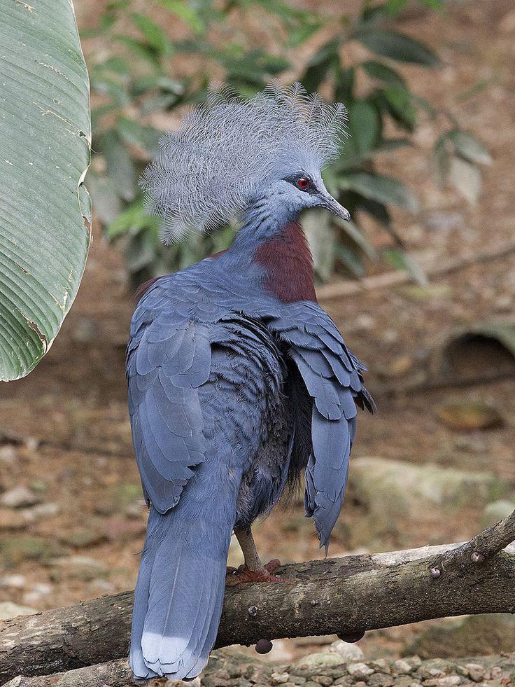 Southern Crowned Pigeon (Goura scheepmakeri) _ JBP | by mahi mahi 163
