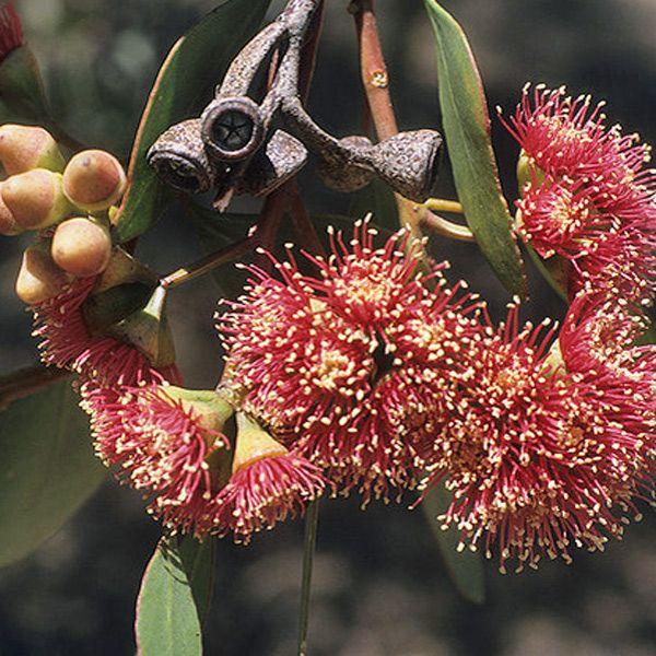 EUCALYPTUS cernua  Red Flowered Moort