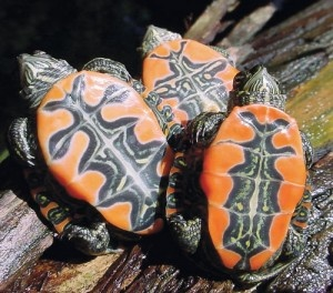 UT Arlington Evolutionary Biologists Link Turtle Genome Sequencing To Childhood Interest: http://bionews-tx.com/news/2013/06/14/ut-arlington-evolutionary-biologists-link-turtle-genome-sequencing-to-childhood-interest/