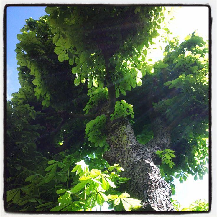 Visualivoelen - Kastanjeboom in mijn tuin