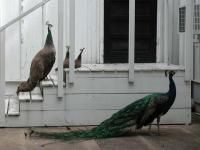Mayfield Park and Peacocks, Tarrytown
