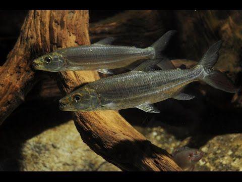 Аквариумная рыбка, рыба Голиаф тигровая, Hydrocynus goliath