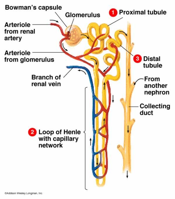 Nephron Anatomy | PA-S | Pinterest | Biology, Colors and ...
