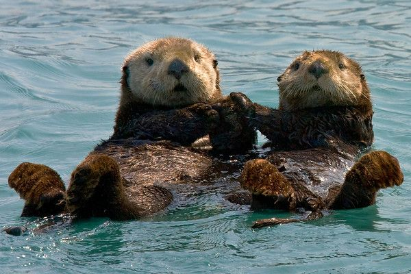 Sea otters holding hands.(sea otters hold hands while swimming/floating so they do not separate)