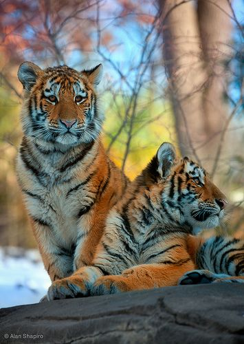 Bengal Tiger cubs (one enjoying the sun set, the other watching the well fed family next to me and wondering who is more tender) | Flickr - Photo Sharing!