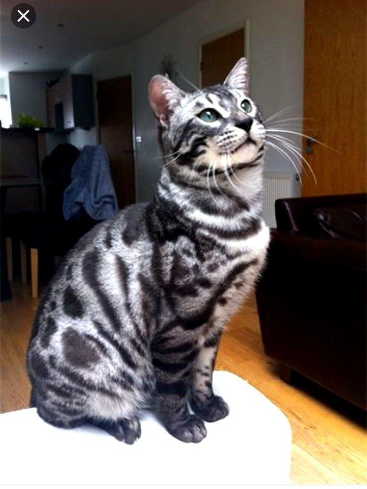 Silver Charcoal Bengal Silver Bengal Cat Bengal Cat Kitten Bengal Cat