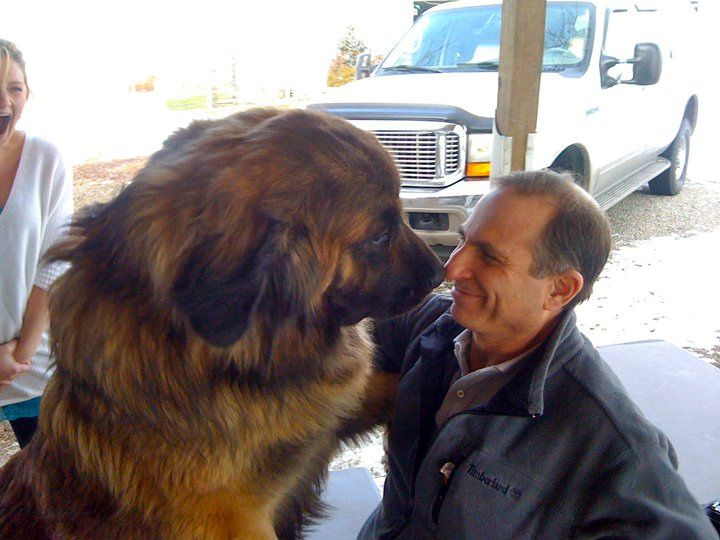 "Leonbergers can shed a lot. Two times a year the Leonberger will shed in very large quantities. Some owners have taken to referring to their dog's hair as ""condiments."""