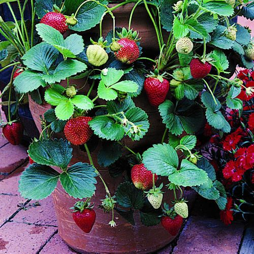 Growing Strawberries In A Planter: Backyards, Facts And Pots