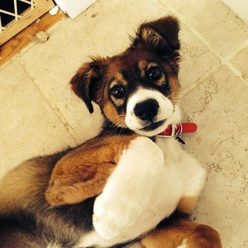 12 Of The Best Hybrid Dogs That The World Has To OfferOffer-Australian Sheperd and Lab mix