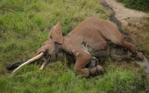 Gisteren is in Kenia één van de oudste en grootste olifanten van Afrika levenloos aangetroffen, er zijn er zo 25 op de wereld,gisteren is er 1 gestorven door een stroper. Gelukkig konden ze de lichaam vinden voordat ze de ivoor kwamen ophalen.De dierenbescherming zit nu extra veel te helpen zodat olifanten niet meer gedood worden. Datum gebuertenis:7-03-2017 Datum pin:7-03-2017