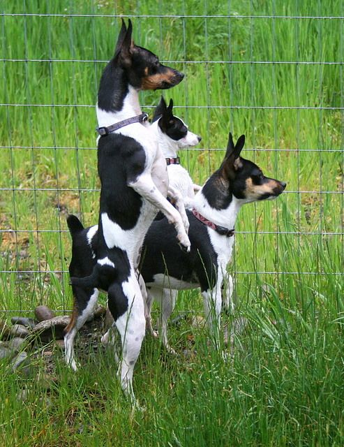 "Too smart! #Rat #Terrier ""i saw them trespassing YESTERDAY too!!"""