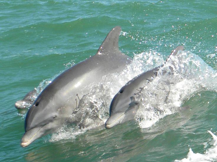 Moeder en baby dolfijn.