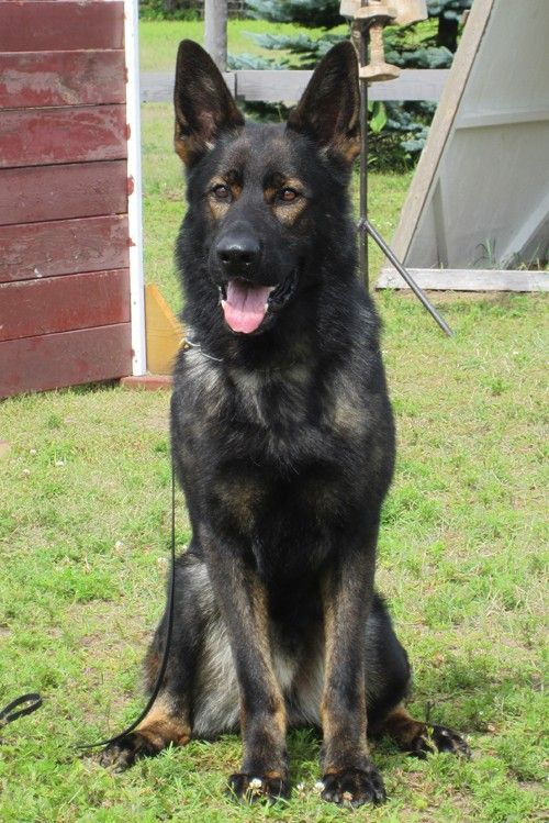 Black Sable East German Shepherd Stud Dog Visko vom Spartanville (Uncle to our pups) posting for my daughters to see...