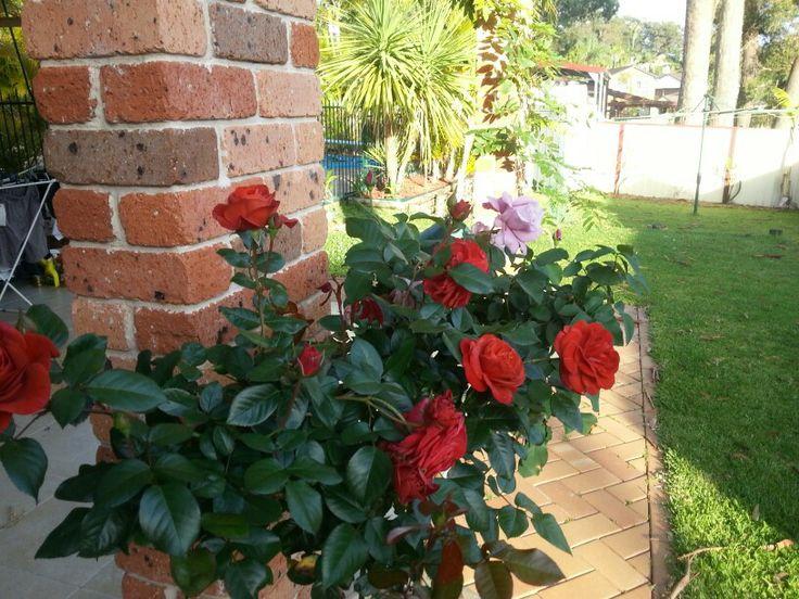 A flourish of roses