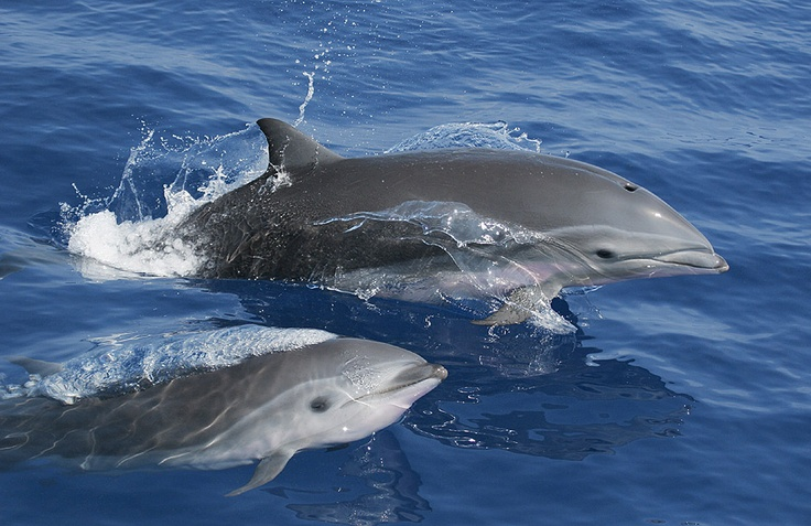 Fraser's Dolphins - USA (Photograph by Chris Johnson)