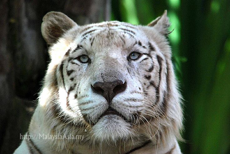The Balinese extinct tiger