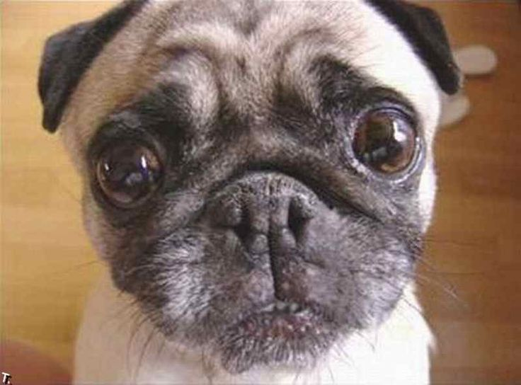I'm sorry but you just can't say no to that face. too cute !Cute Animal, Animal Pictures, Dogs,  Pug-Dog, Image, Animal Friends, Pugs, Funny Animal, Big Eye