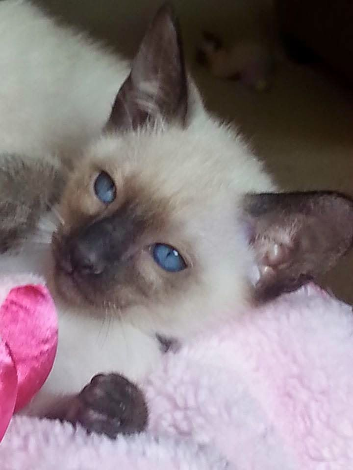 Breeders Of Siamese Kittens Available For Sale Siamese Kittens Raised In Our Lo Siamese Cats Blue Point Siamese Kittens Siamese Cats