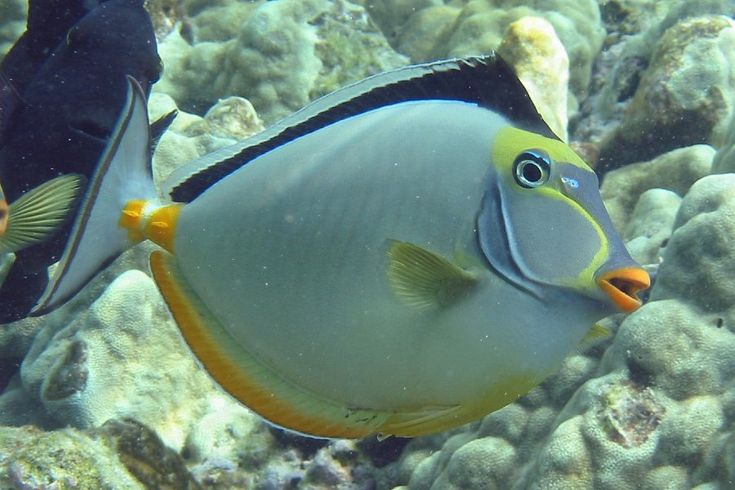 40 best images about kauai fish that i saw on pinterest for Fly fishing kauai