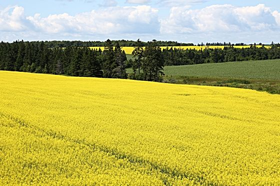 Yellow and green rolling hills, Prince Edward Island