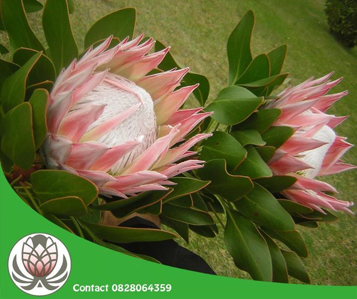 Having the largest flower head in the genus. The king protea species is also known as giant protea, honeypot or king sugar bush. #trivia #lifestyle #bofbergflowers