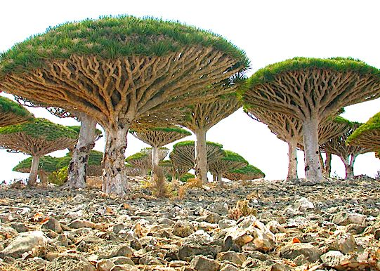 "Alien looking umbrella-shaped ""blood trees"" are found only in Socotra, a four island archipelago in the Indian Ocean. Post: 7 Most Mysterious Places on Earth. via Hub Pages"