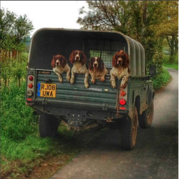 springers and land rovers