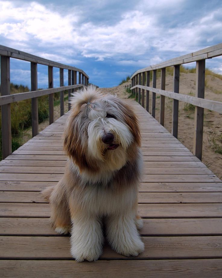 11 Big Fluffy Dog Breeds Perfect To Cuddle With Love Cute