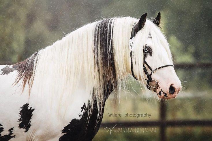 Gypsy stallion WF Commander from Saturday's in-hand show * © Tilda Josefsson all rights reserved www.tiere-photo.com * #europaspferde #excellent_animals #pferdeschoenheiten #pferde #horsesofinstagram #equine_feature #equipx #featuremehorsesofig #bestofequines#equup #featuremesophie#hg_picture#pferdefreunde_post#_eurepferdebilder_#epb_post#pferdepost_123#pe_horsepost#ybh_post#horseaddict#magic_marvels#pferderosen#equinespos#horsefun_feature#hho_post#eqwtdsah_2#eqwtdspp_1