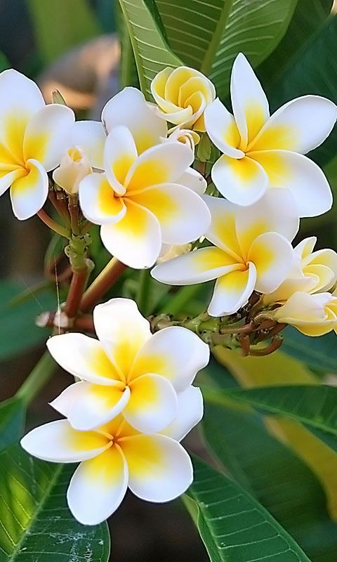 Download 480x800 «White flowers, plumeria» Cell Phone Wallpaper. Category: Flowers