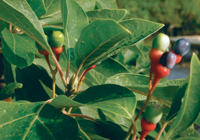 How to propagate Sassafras trees