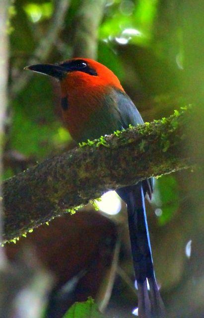 Foto udu-de-bico-largo (Electron platyrhynchum) por Mathias Singer | Wiki Aves - A Enciclopédia das Aves do Brasil
